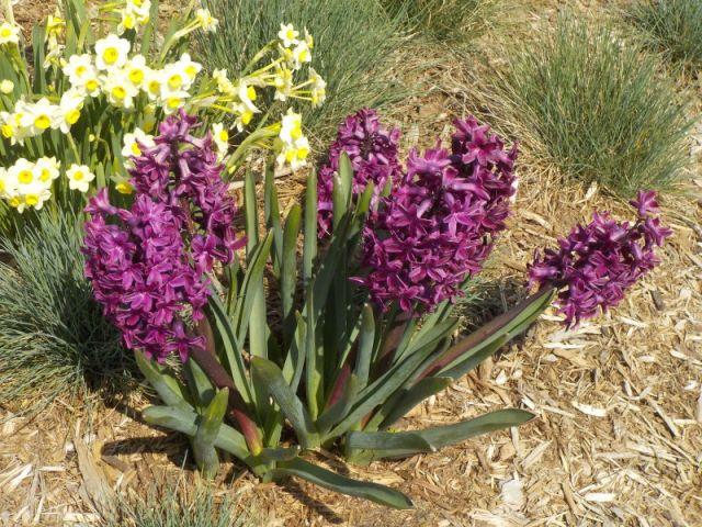 Daffodils and Hyacinths.